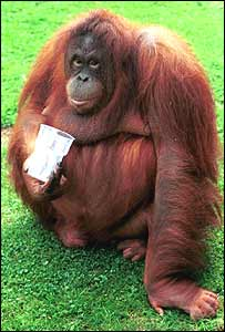 An orang-utan ape