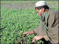 Heroin poppy cultivation in Afghanistan