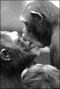 Chimpanzees kissing (picture by Professor Frans de Waal)