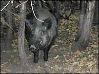 Captive boar at Wildwood Trust