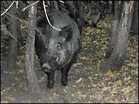 Captive boar at Wildwood Trust