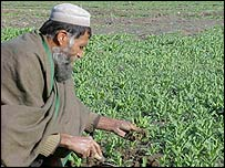 Afghan farmer with opium poppy crop