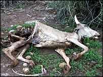Dead cow in drought, BBC