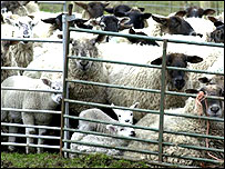 Sheep awaiting slaughter