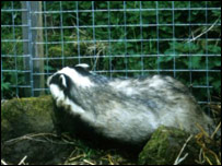 Badger by some fencing