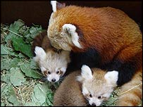 The red pandas at the zoo