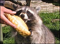 Racoon eating pasty