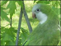 A Quaker parrot