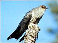 Cuckoo   BBC