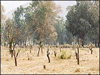 Orange groves laid waste