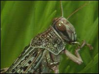 Locust