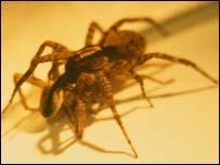 Araña Licosa