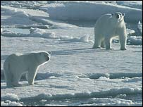 Polar bears  Image: University College London