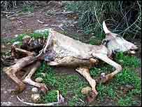 Dead cow in drought   BBC