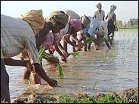 Indian farmers in a rice paddy