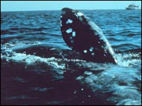 Right whale, Noaa