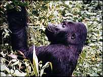Gorilla browsing   BBC