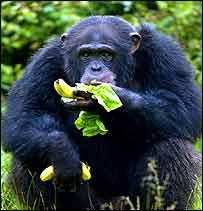 Chimpanzee   PA