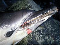 Dolphin bycatch (Image copyright Colin Wood/WDCS)