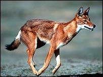 Running wolf   WWF-Canon/Martin Harvey