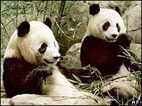 Giant pandas (file picture)