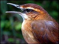 Long-legged warbler   BirdlLife Fiji