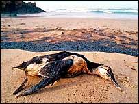 Dead guillemot   WWF-Canon/Jorge Sierra