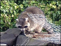 The raccoon on the shed