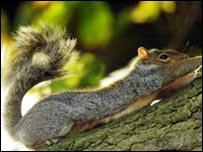 Grey squirrel