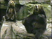 Brown bears performing for food