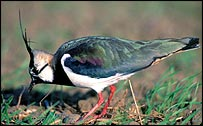 Lapwing   Nick Watts/English Nature