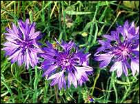 Cornflowers   Peter Wakely/English Nature