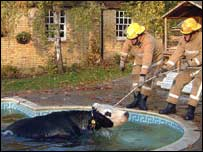 Firefighters rescue a cow from a pool