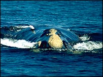 Tagged right whale, K. Shorter, Woods Hole Oceanographic Institution