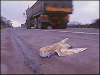 Barn owl killed on a road