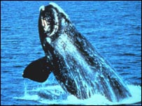 Northern right whale, NOAA
