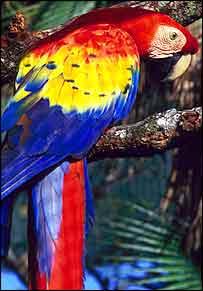 Scarlet macaw    Bacongo