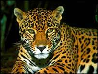 Jaguar   Bacongo