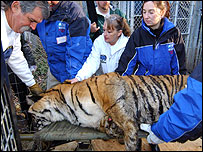 Officials take sick tiger from sanctuary [pic courtesy International Fund for Animal Welfare]