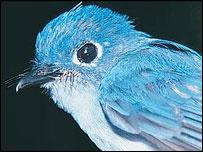 Caerulean paradise flycatcher, Jon Riley