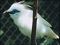 Bali starling, Mark Edwards/Still Pictures