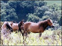 Exmouth ponies