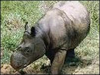 Minah, Sumatran rhino (Pic: The International Rhino Foundation)