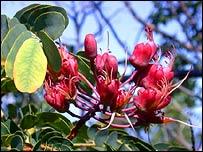 Caesalpinia Kavaiensis, © Vickie L. Caraway