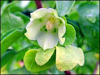 Melissia Begoniifolia, © Rebecca Cairns-Wicks