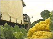 Cauliflowers in the field