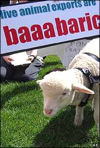A sheep stands by a placard as animal welfare activists demonstrate outside Australia's Parliament House