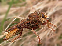 Hornet Robber Fly (picture courtesy of Sam Bosanquet)