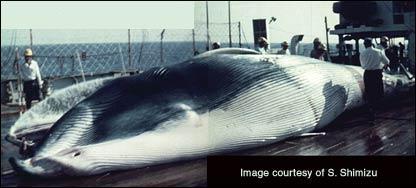 Whale, Shimizu