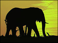 Elephant at sunset   BBC